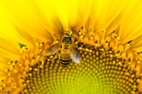 Close Up Of Bee On Yellow Blooming Sunflower.( Macro Photo Set )