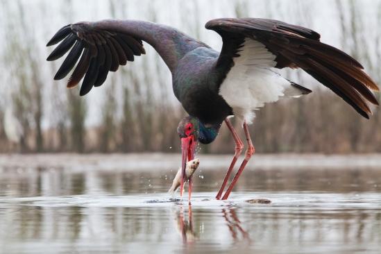 beautiful black stork fishing on a lake